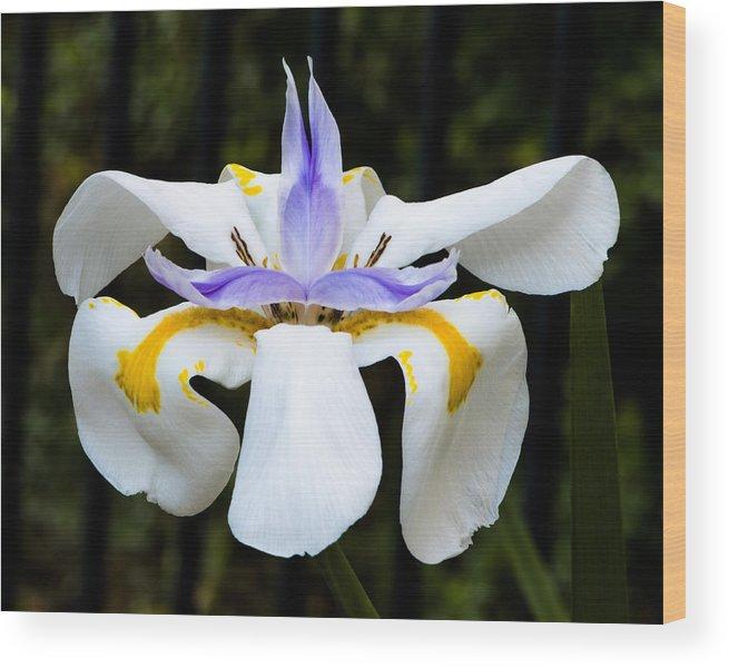Dietes Grandiflora Wood Print featuring the photograph Dietes Grandiflora Full by David Waldo