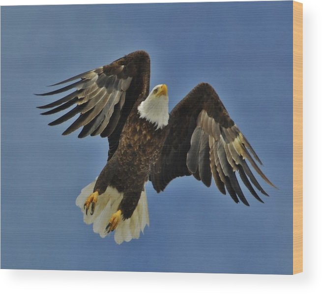 Bald Eagle In Flight Wood Print featuring the photograph Eagle In Flight 4 by David Knowles