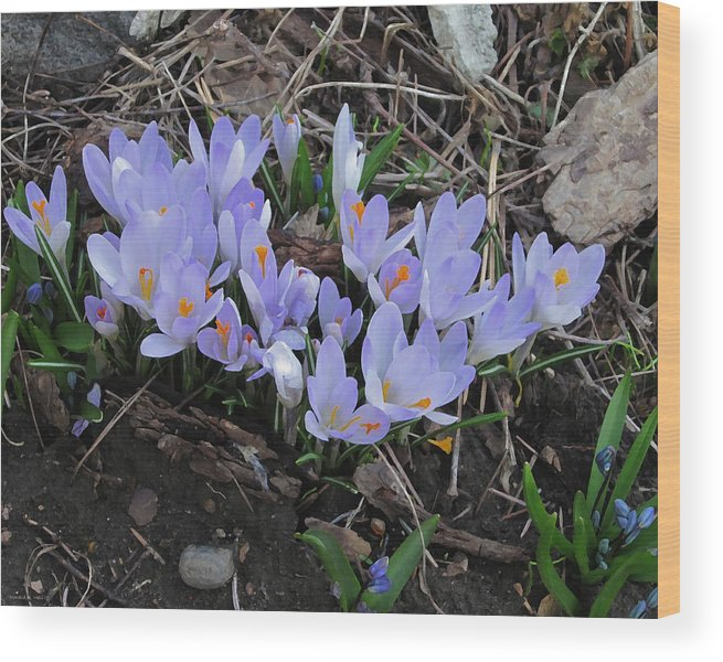 Crocus Wood Print featuring the photograph Early Crocuses by Donald S Hall