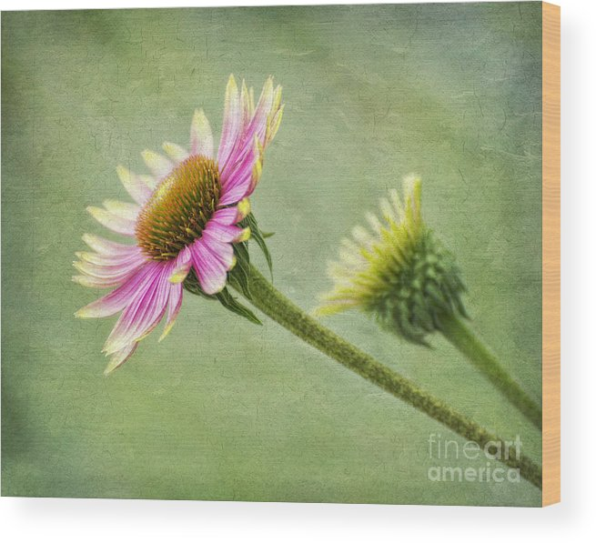 Cone Flower Wood Print featuring the digital art Echinacea by Claudia Kuhn