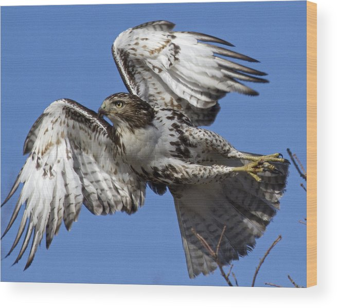 Red-tailed Hawk Wood Print featuring the photograph Exit Stage Right by Eric Mace