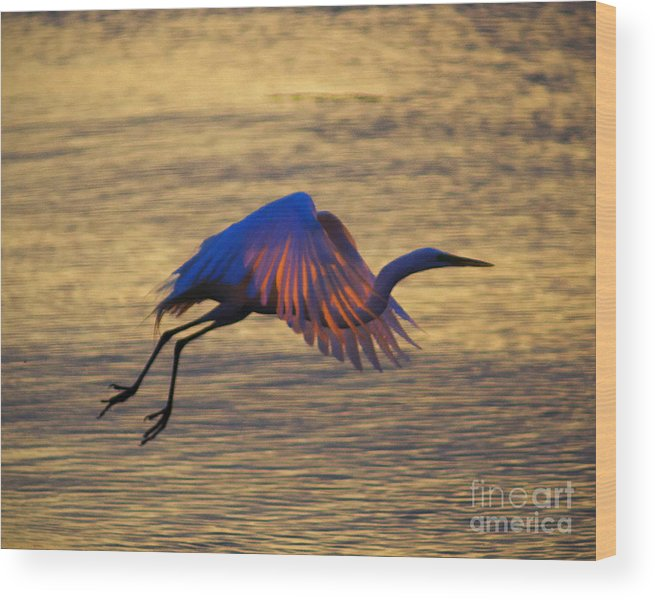 Egret Wood Print featuring the photograph Feather-light by Joe Geraci