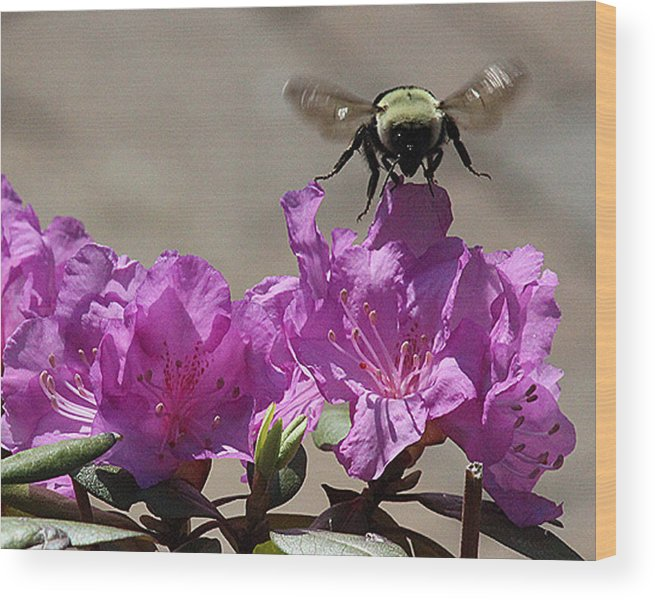 Bumble Bee Wood Print featuring the photograph Flight Of The Bumble Bee by Roger Bruneau