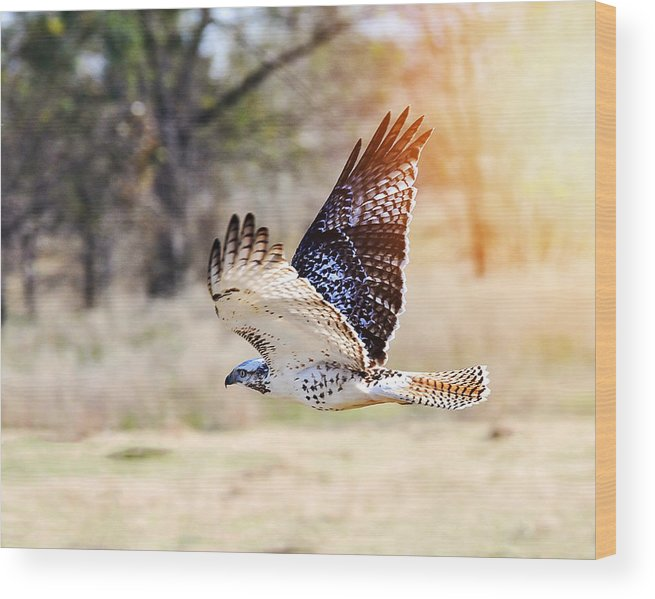 Hawk Wood Print featuring the photograph Flying Low by Pam Garcia