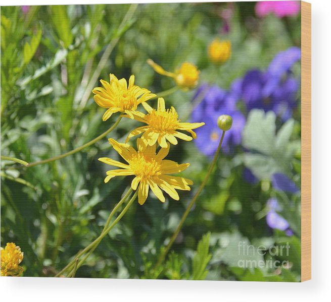 Aster Wood Print featuring the photograph Golden Aster by Carol Bradley
