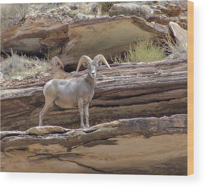 Biug Horn Sheep Wood Print featuring the photograph Grand Canyon Big Horn Sheep by Alan Toepfer
