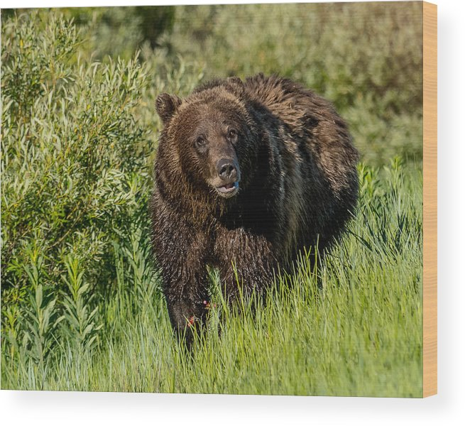 #760 Wood Print featuring the photograph Grizzly 760 In The Morning by Yeates Photography