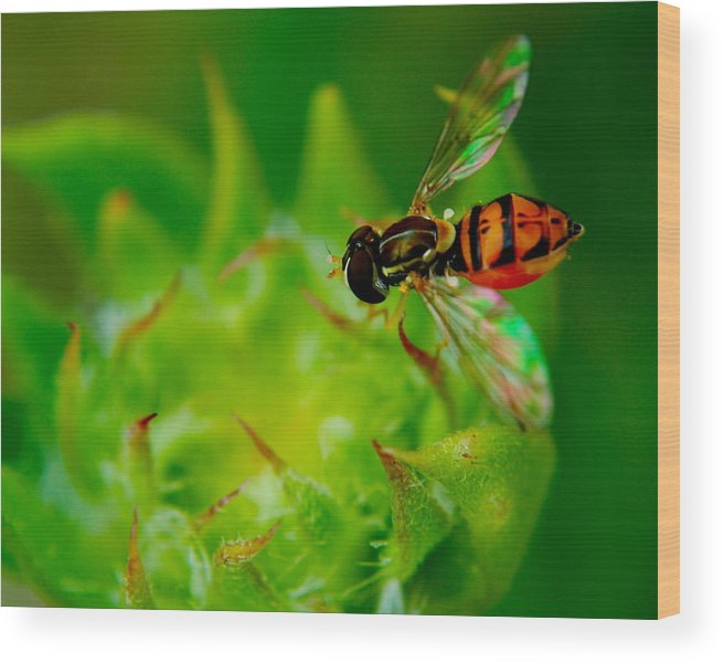 Bee Wood Print featuring the photograph Just Beecause by Frozen in Time Fine Art Photography
