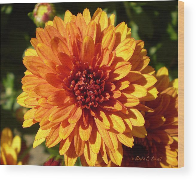 Center Front Bright Orange Flower Orange Reddish Center Flower For Wall Hanging And Decor Wood Print featuring the photograph M Bright Orange Flowers Collection No. Bof3 by Monica C Stovall