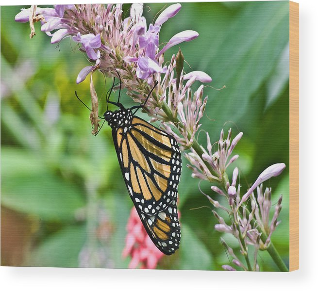 Butterflies Wood Print featuring the photograph Monarch Ins 15 by G L Sarti