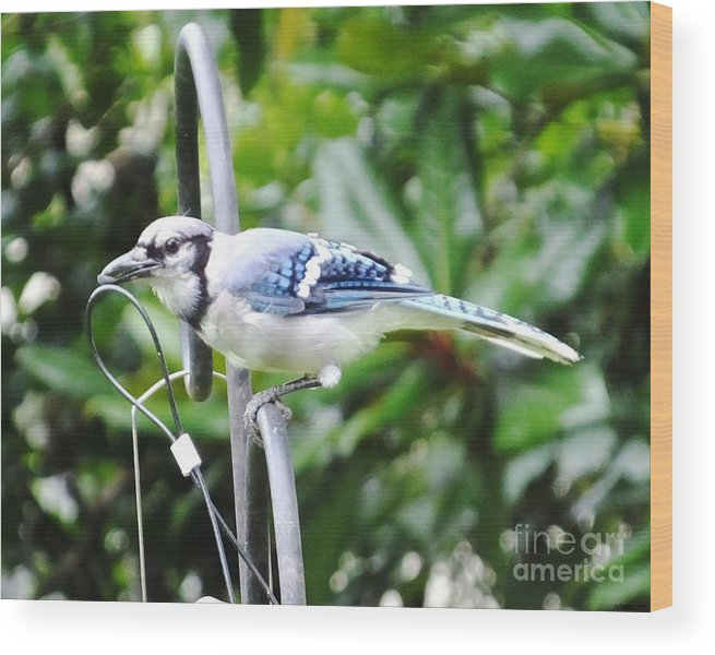 Blue Jay Wood Print featuring the photograph Mr Jay by Lizi Beard-Ward