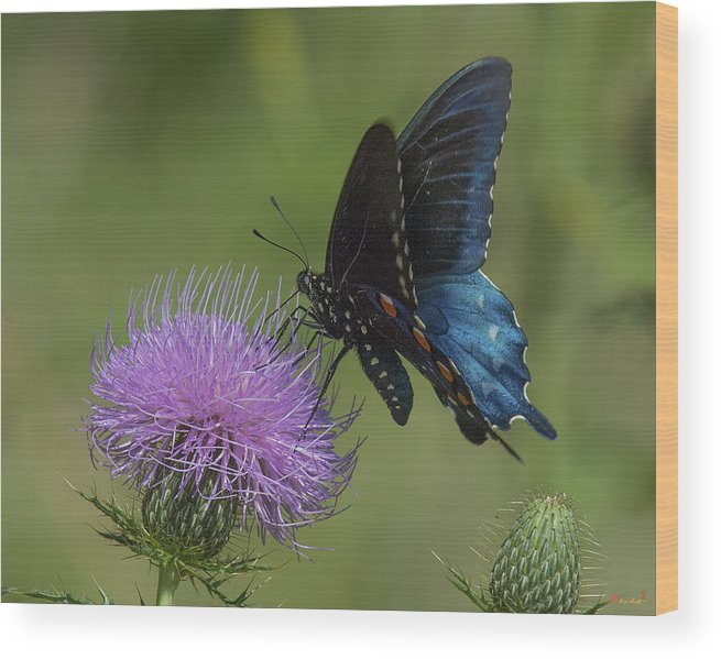 Nature Wood Print featuring the photograph Pipevine Swallowtail Visiting Field Thistle Din158 by Gerry Gantt