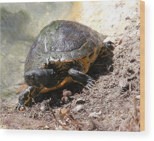 Turtle Wood Print featuring the photograph Possible Cooter Turtle by Doris Potter