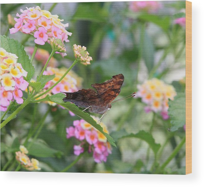 Question Mark Butterfly Wood Print featuring the photograph Question Mark Butterfly by Kevin Devine