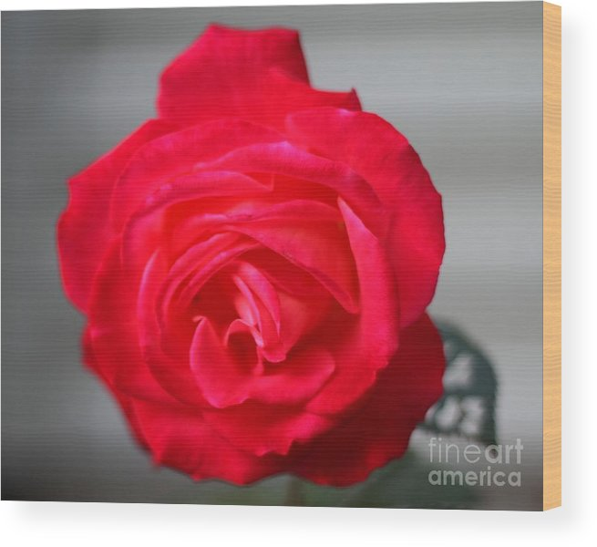 red Rose In Full Bloom Wood Print featuring the photograph Rose_0222 by Joseph Marquis
