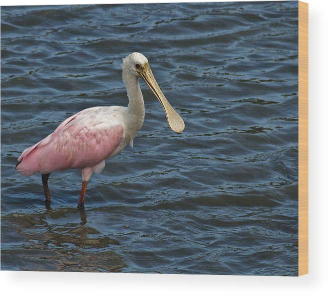 Huntington. Hbsp Wood Print featuring the photograph Roseate Spoonbill by Bill Barber