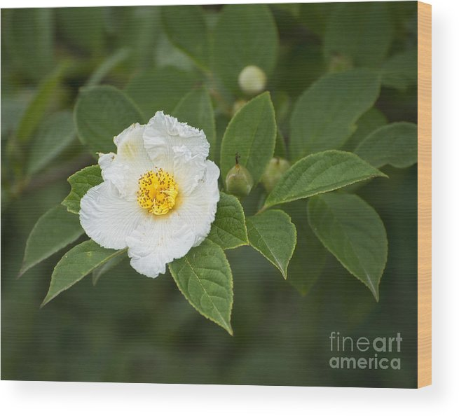 Stewartia Pseudocamelia Wood Print featuring the photograph Solo by Claudia Kuhn