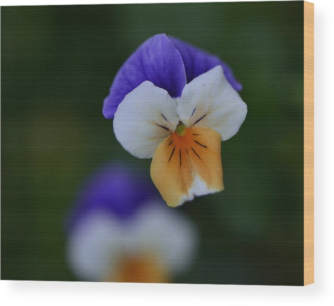 Violas Wood Print featuring the photograph Viola Reflection by Larry Bishop