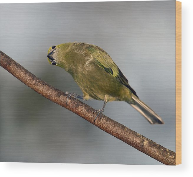 Palm Tanager Wood Print featuring the photograph What's Up And Down by Tony Beck