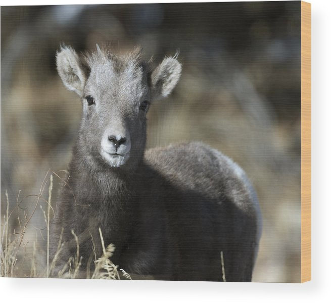 Young Bighorn Sheep Wood Print featuring the photograph Young Bighorn Sheep by Gary Langley