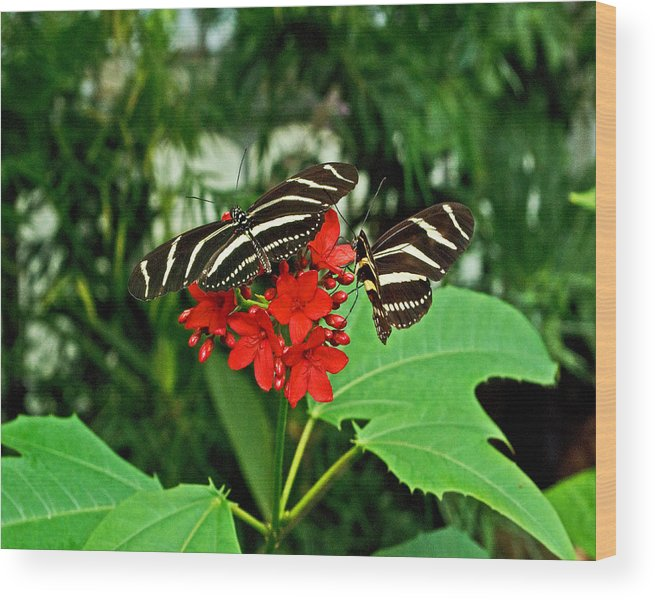 Wildlife Wood Print featuring the photograph Zebra Longwing Ins 39 by G L Sarti