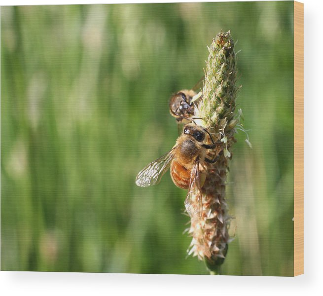 Honey Wood Print featuring the photograph 2 Honey Bees Hard At Work by Seth Solesbee