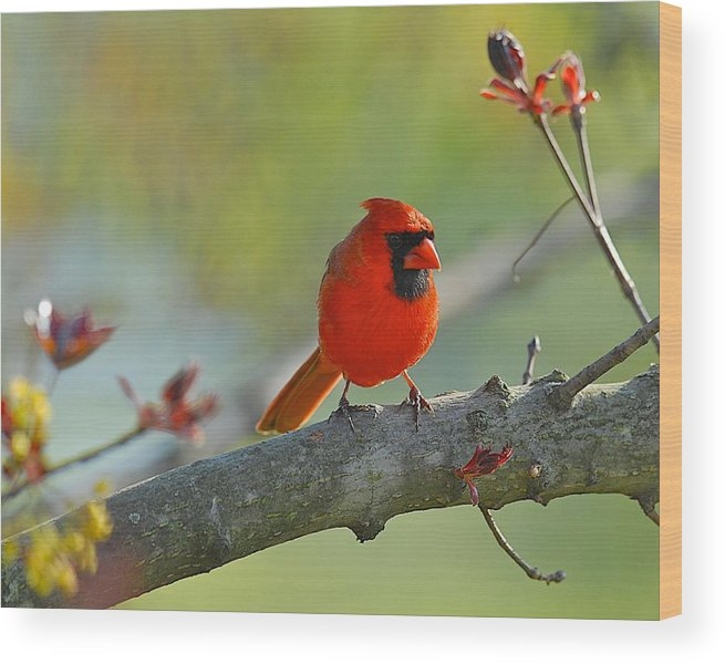 Bird Wood Print featuring the photograph A Bit Red by Douglas Perry
