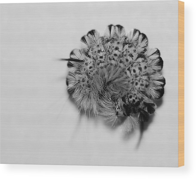Nature Wood Print featuring the photograph All Coiled Up by Susan Capuano