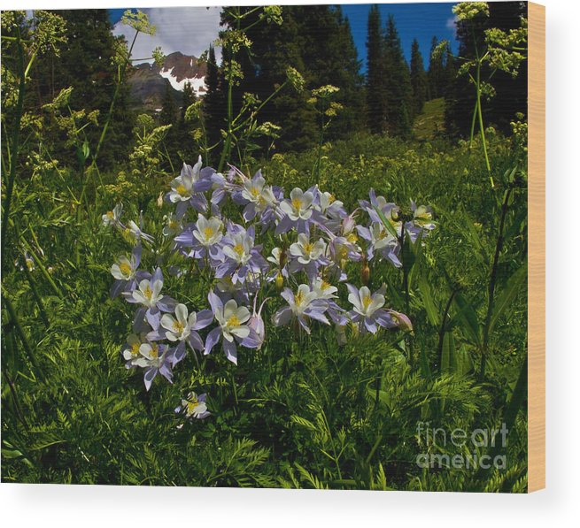 Alpine Wood Print featuring the photograph Colorado Blue Columbine At Lake Irwin by Crystal Garner