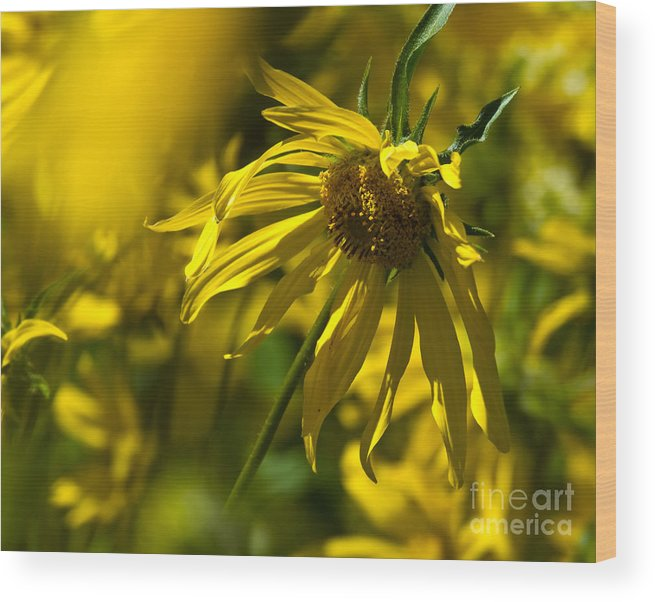 Bloom Wood Print featuring the photograph Colorado Sunflowers by Crystal Garner