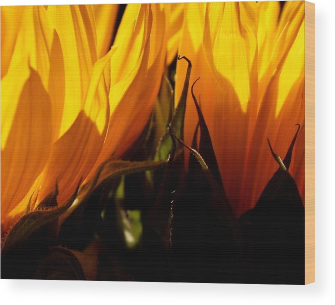 Fiery Wood Print featuring the photograph Fiery Sunflowers by Kume Bryant