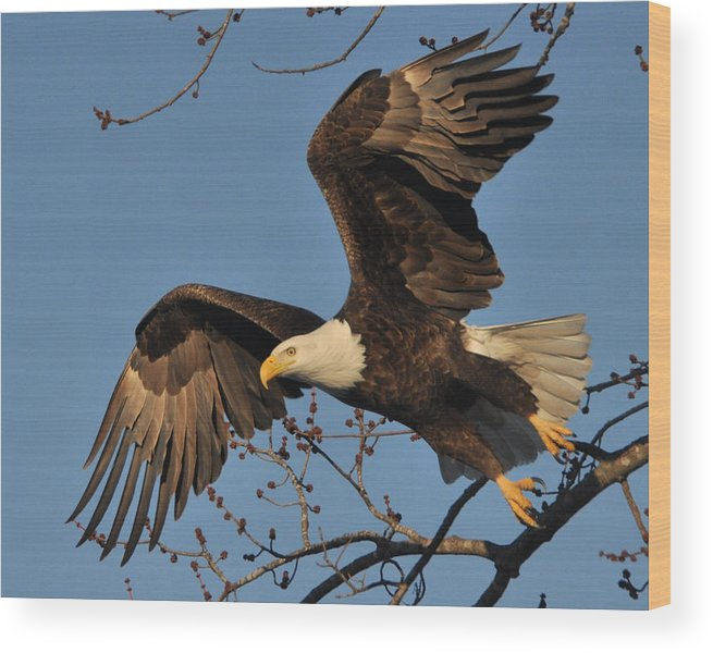 Eagles Wood Print featuring the photograph Lift Off by Jason Loving