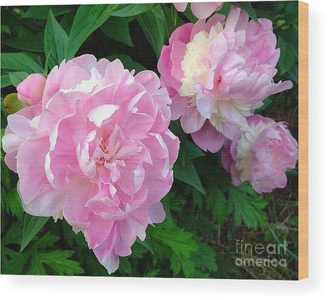 Nature Wood Print featuring the photograph Pink White Peonies by Wonju Hulse