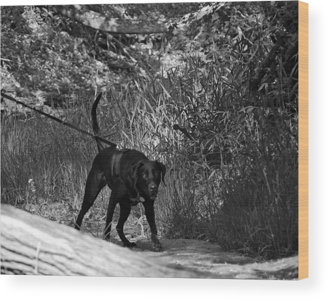 Lad Wood Print featuring the photograph Search And Rescue Dog by Lila Fisher-Wenzel