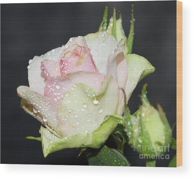 Flowers Wood Print featuring the photograph Pink Rose by Elvira Ladocki
