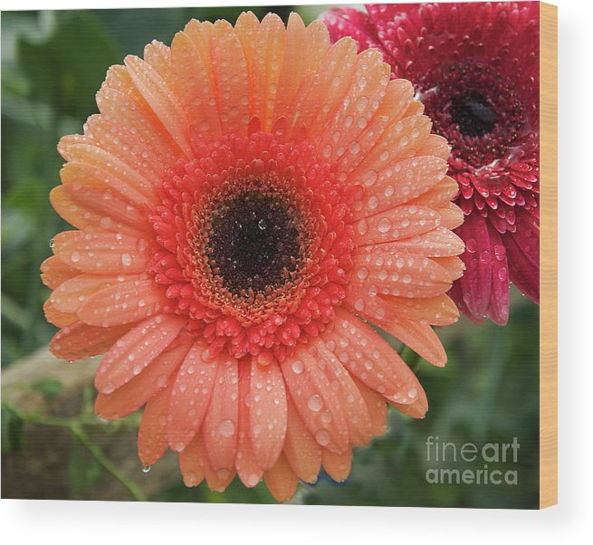 Flowers Wood Print featuring the photograph Two Gerbers by Elvira Ladocki