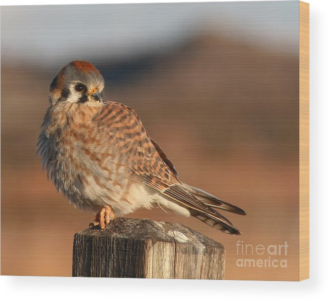 Kestrel Wood Print featuring the photograph American Kestrel Giving Hunting Stare by Max Allen