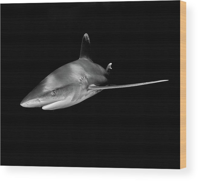 An Oceanic White Tip Shark In Black And White Wood Print featuring the photograph An Oceanic White Tip Shark In Black And White by Brent Barnes