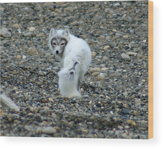 Alaska Wood Print featuring the photograph Arctic Fox by Anthony Jones