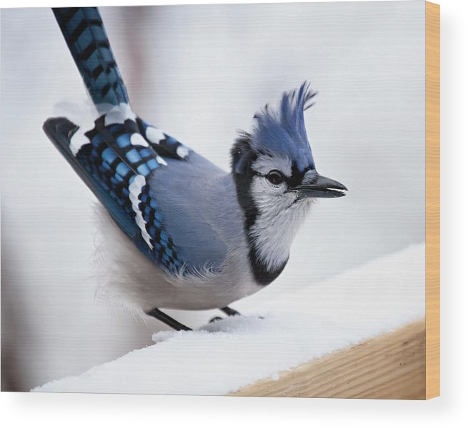 blue Jay' Wood Print featuring the photograph Bad Feather Day by Al Mueller