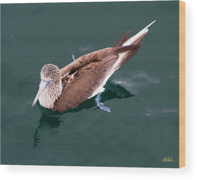Blue-footed Booby Wood Print featuring the photograph Blue-footed Booby by Robert Selin