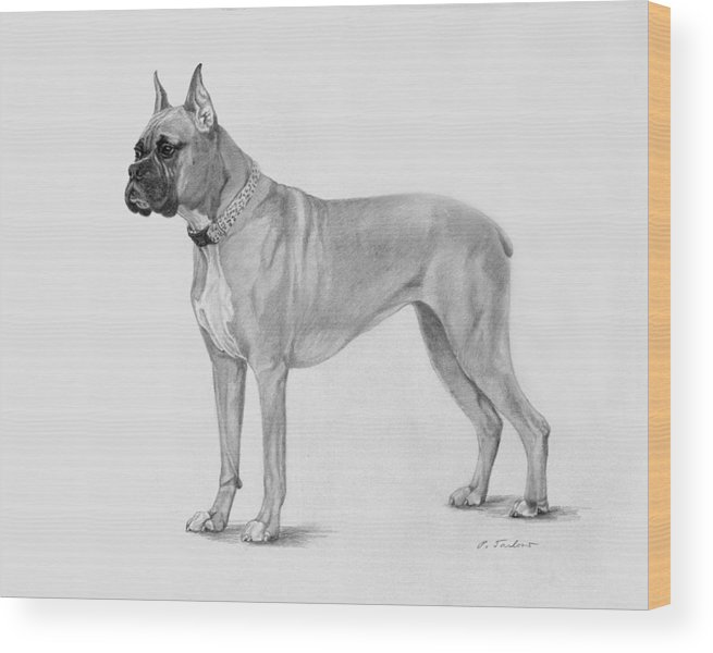 Dog Wood Print featuring the drawing Boxer At Attention by Phyllis Tarlow