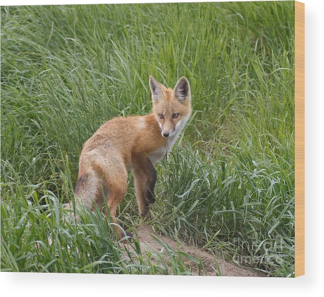Red Fox Wood Print featuring the photograph Checking The Perimeter by Royce Howland