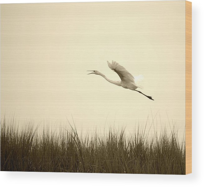 White Egret Flying Marsh Rising Bird Flight Grass Wood Print featuring the photograph Egret Rising by William Haney