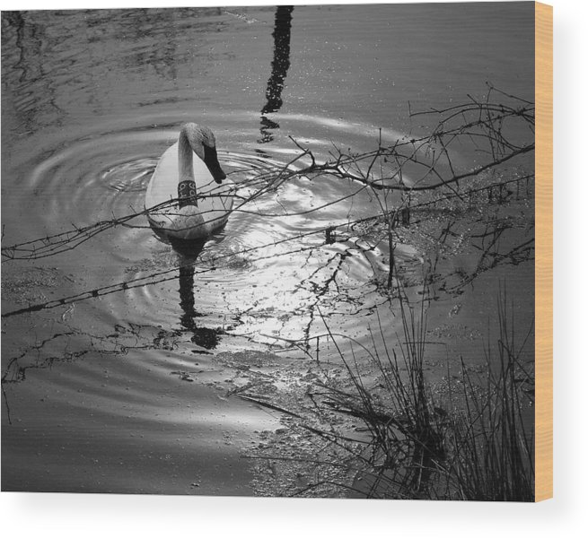 Trumpeter Swan Wood Print featuring the photograph Feeding Trumpeter Swan In Black And White by Michael Dougherty