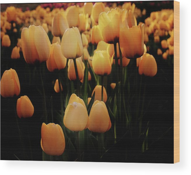 Yellow Tulips Wood Print featuring the photograph Fields Of Yellow Tulips by Carol Cottrell