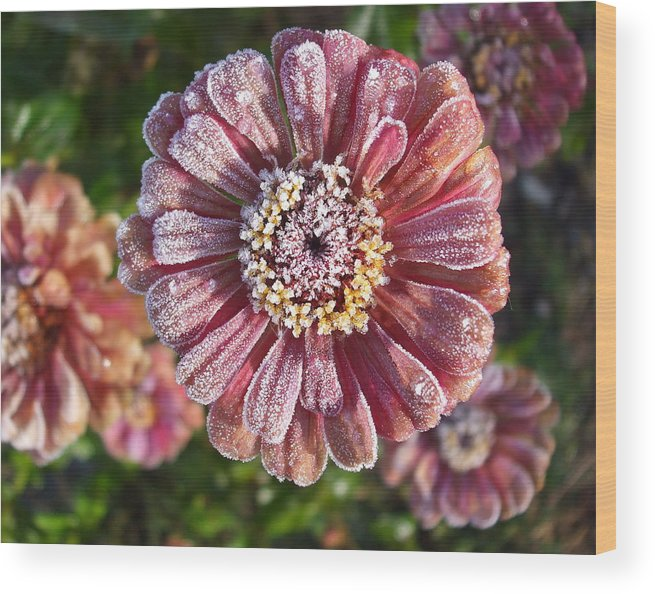 Flowers Wood Print featuring the photograph Frosty Morning Zinnias 2 by Janet Telander