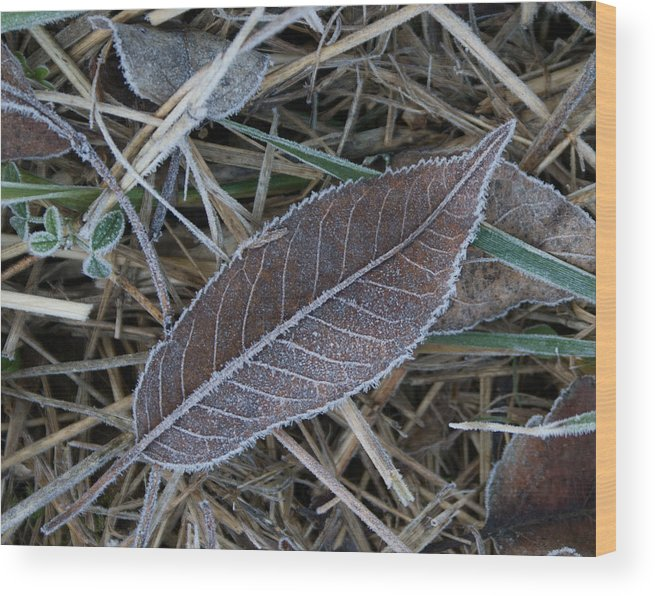 Frosty Wood Print featuring the photograph Frosty Veined Leaf by Douglas Barnett