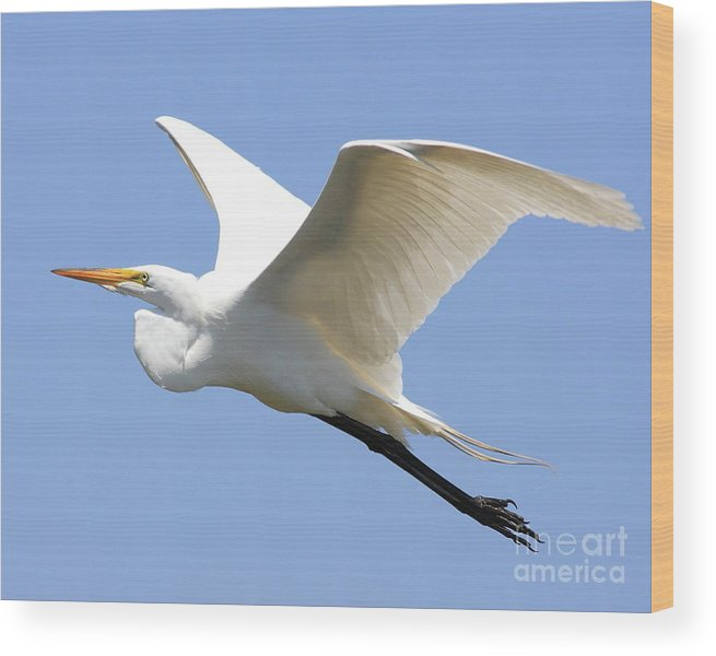 Bird Wood Print featuring the photograph Great White Egret In Flight . 40d6845 by Wingsdomain Art and Photography