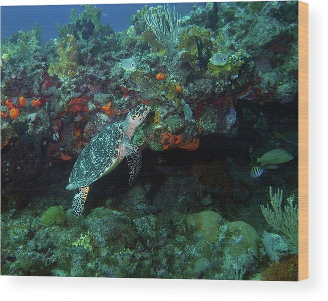 Hawksbill Sea Turtle Wood Print featuring the photograph Hawksbill Sea Turtle 4 by Pauline Walsh Jacobson
